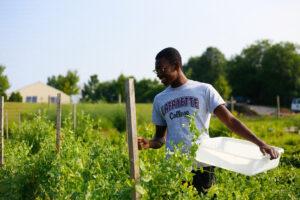 Student harvests peas during summer season